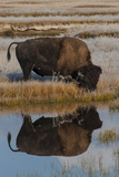 Wyoming, Yellowstone National Park. American Bison on Frosty Morning with Reflection in a Pool Photographic Print by Judith Zimmerman