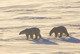 Polar Bears in Cape Churchill Wapusk National Park, Churchill, Manitoba, Canada Photographic Print by Richard and Susan Day
