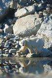 Arctic, Svalbard. Polar Bear Female and Reflection Photographic Print by David Slater