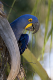 Brazil, Mato Grosso, the Pantanal, Hyacinth Macaw on Palm Branch Photographic Print by Ellen Goff