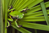 Agua Rica Leaf Frog, Ecuador Photographic Print by Pete Oxford