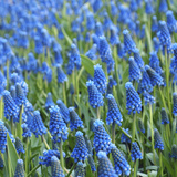 Grape Hyacinth in Bloom Photographic Print by Anna Miller