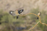 Arizona, Buckeye. Two Male Gila Woodpeckers on Dead Branch Photographic Print by Jaynes Gallery