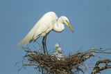Texas, High Island, Smith Oaks Rookery. Great Egret Parent at Nest with Chicks Photographic Print by Jaynes Gallery