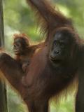 Mother Orangutan and Baby, Sabah, Malaysia Photographic Print by Tim Fitzharris