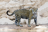Brazil, Mato Grosso, the Pantanal, Cuiaba River. Jaguar Walking Along the Bank of the Cuiaba River Photographic Print by Ellen Goff