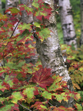 Maple Leaves and Birch Tree, Acadia National Park, Maine Photographic Print by Tim Fitzharris