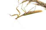 Praying Mantis on White Background, Marion County, Il Photographic Print by Richard and Susan Day