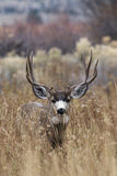 Mule Deer Buck Photographic Print by Ken Archer