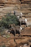 Utah. Two Female and One Male Big Horn Sheep on Red Rocks with Bush Photographic Print by Judith Zimmerman
