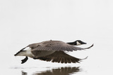 Canada Goose in Flight, Marion County, Illinois Photographic Print by Richard and Susan Day