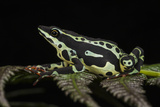 Harlequin Frog, Ecuador Photographic Print by Pete Oxford