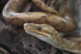 Cook's Tree Boa Snake, Costa Rica Photographic Print by Tim Fitzharris