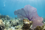 Purple Sea Fan Soft Coral , Clear Blue Waters Off of the Isle of Youth, Cuba Photographic Print by James White