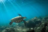 Green Sea Turtle Swimming Off the North Shore of Oahu, Hawaii Fotoprint van James White