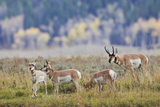 Pronghorn Antelope Buck and Does Photographic Print by Ken Archer