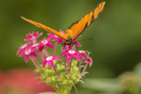 Costa Rica, Monteverde Cloud Forest Biological Reserve. Butterfly on Flower Photographic Print by Jaynes Gallery