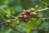 Close-Up of Coffee Beans in the Highlands of Papua New Guinea, Papua New Guinea Photographic Print by Michael Runkel