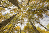 Colorado, Gunnison National Forest. Aspen Trees in Autumn Photographic Print by Jaynes Gallery