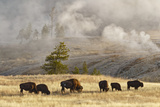 Herd of Bison Near Old Faithful Geyser Upper Geyser Basin, Yellowstone National Park, Wyoming Photographic Print by Adam Jones