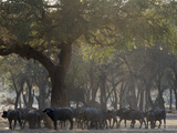 Africa, Zambia. Herd of Cape Buffaloes Photographic Print by Jaynes Gallery