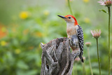 Red-Bellied Woodpecker Male in Flower Garden, Marion County, Il Photographic Print by Richard and Susan Day
