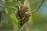 Philippine Tarsier Perched in a Tree, Bohol, Philippines Photographic Print by Tim Fitzharris
