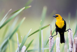 Wyoming, Sublette County, a Yellow-Headed Blackbird Male Straddles Several Cattails Reproduction photographique par Elizabeth Boehm