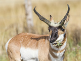 Wyoming, Sublette County, a Pronghorn Male Eating Forbes Photographic Print by Elizabeth Boehm