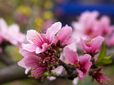 Peach Blossom Close Macro, Village, Chengdu, Sichuan, China Photographic Print by William Perry