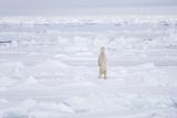 Norway, Svalbard, Pack Ice, Polar Bear Standing Photographic Print by Ellen Goff