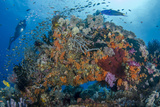 Indonesia, West Papua, Raja Ampat. Diver and Coral Reef Photographic Print by Jaynes Gallery