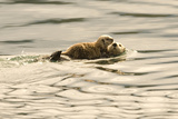 A Mother Sea Otter Swims on Her Back as Her Baby Rests on Her Stomach in Alaskan Waters Photographic Print by John Alves