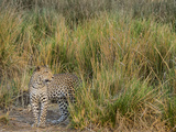 Africa, Zambia. Close-Up of Leopard Standing in Grass Photographic Print by Jaynes Gallery