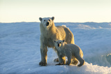 Polar Bear and Cub Standing on Sea Ice at Sunset Near Harbor Islands,Canada Photographic Print by Paul Souders