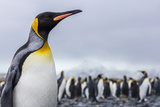South Georgia Island, Salisbury Plains. Close-Up of King Penguin Photographic Print by Jaynes Gallery