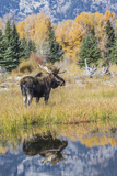 Wyoming, a Bull Moose Stands Near the Snake River at Schwabacher Landing in the Autumn Photographic Print by Elizabeth Boehm