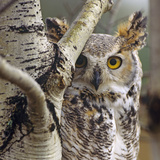 Great Horned Owl Pale From, British Columbia, Canada Photographic Print by Tim Fitzharris