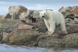 Polar Bear Standing at Water's Edge Along Hudson Bay Near Arctic Circle,Canada Photographic Print by Paul Souders