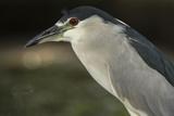 Black-Crowned Night Heron. Georgetown, Guyana Photographic Print by Pete Oxford