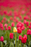 One Yellow Tulip in a Field of Red Tulips, Skagit Valley, Washington Photographic Print by Greg Probst