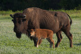 Theodore Roosevelt National Park, American Bison and Calf Photographic Print by Judith Zimmerman