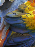 Scarlet Macaw Feathers, Costa Rica Photographic Print by Tim Fitzharris