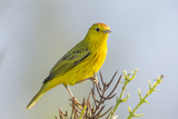 Ecuador, Galapagos Islands, Isabela, Urvina Bay. Male Yellow Warbler on a Tree Branch Photographic Print by Ellen Goff