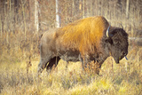 The Wood Bison Photographic Print by Richard Wright
