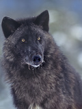 Gray Wolf in Snow, Montana Photographic Print by Tim Fitzharris