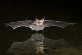 Arizona, Pallid Bat Drinking Photographic Print by Ellen Goff