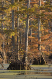 Bald Cypress Trees in Fall, Horseshoe Lake State Fish and Wildlife Areas, Alexander County, Il Photographic Print by Richard and Susan Day