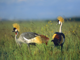 Crowned Cranes, Kenya, Africa Photographic Print by Tim Fitzharris