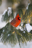 Northern Cardinal Male in White Pine Tree in Winter, Marion County, Illinois Reproduction photographique par Richard and Susan Day